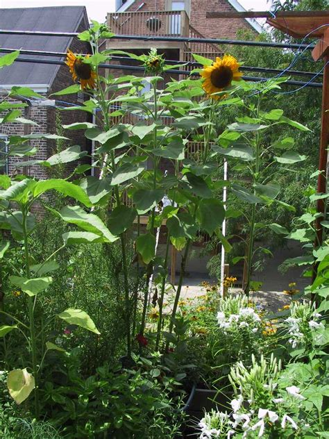 sunflowers in containers