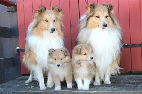 shetland sheepdog breed description history  overview