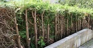 Quand Tailler Une Haie : haie de thuyas taille jardinier paresseux ~ Melissatoandfro.com Idées de Décoration