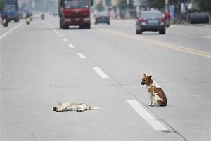 White Wolf : Loyal Dog Stands Guard Over Dead Friend's ...