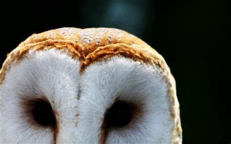 barn owl hd wallpapers background images wallpaper