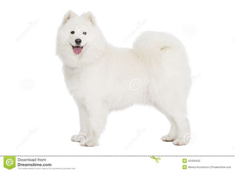 Samoyed Dog Isolated On White Stock Photo Image 43459432