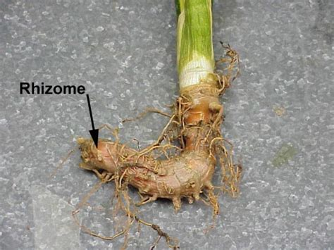 what are rhizomes hort 202 plant structures