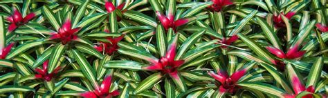 different types of bromeliads with pictures pics for gt types of bromeliad plant