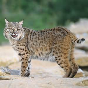 bob cats bobcat animal unique