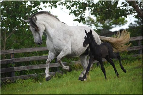 mythos foals andalusians