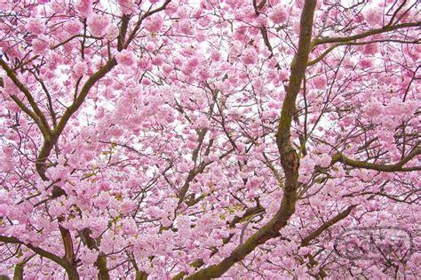 cherry blossom tree l national tree of japan cherry blossom 123countries com