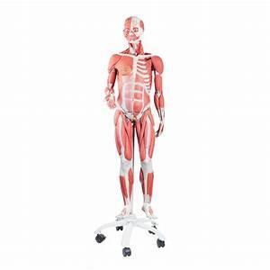 Amazon Com  3b Scientific B50 Dual Sex Muscle Figure 45