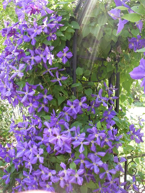 Creeping Vine With Purple Flowers