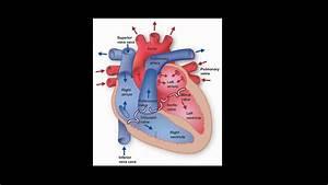 Heart Circulation  Blood Circulation