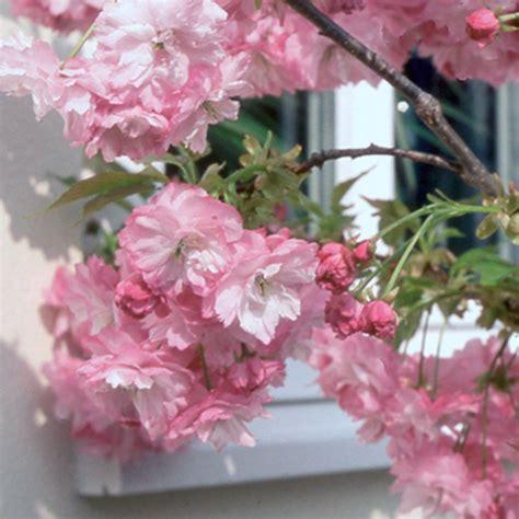 miniature flowering cherry tree prunus little pink perfection dwarf cherry blossom tree