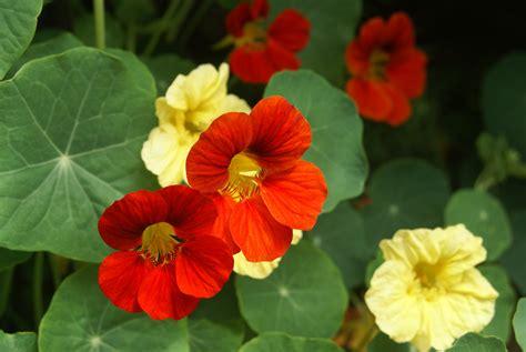 Garden Nasturtium by Nasturtium Mixed The Garden