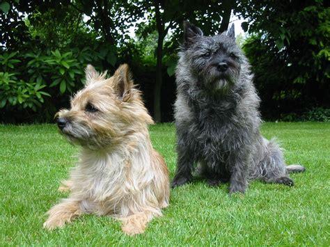 Filecairn Terrier Garten Jpg