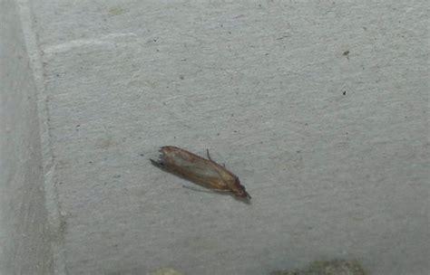 motten  der wohnung insekten schaedlinge