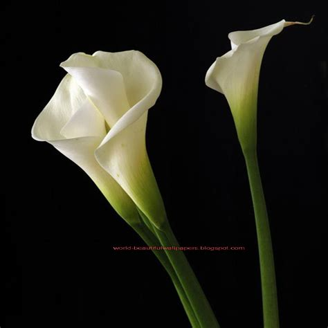 images calla lilies beautiful wallpapers calla lily flowers wallpaper