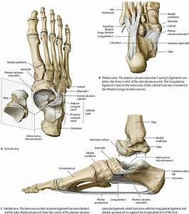 Ankle & Foot - Atlas of Anatomy