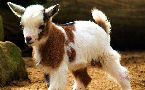 Beautiful Animals Wallpapers For Desktop - beautiful animal goat wallpapers hd desktop wallpapers
