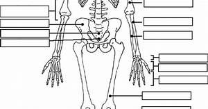 Appendicular Skeleton Labeling Blank