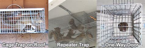 squirrel trapping tips  techniques