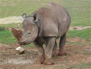 Rhinoceros for Kids: Learn about these giant animals.