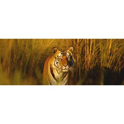 Bengal TigerSpeciesWWF