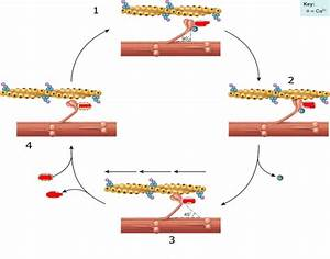 Game Statistics - Muscle Contraction Cycle