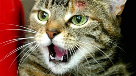 Linguaggio e versi dei gatti GreenStyle