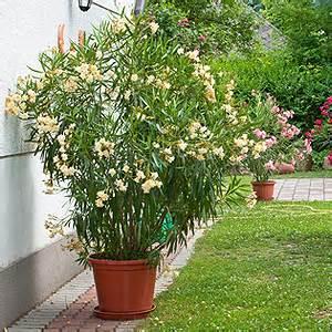 giftige balkonpflanzen und balkonblumen