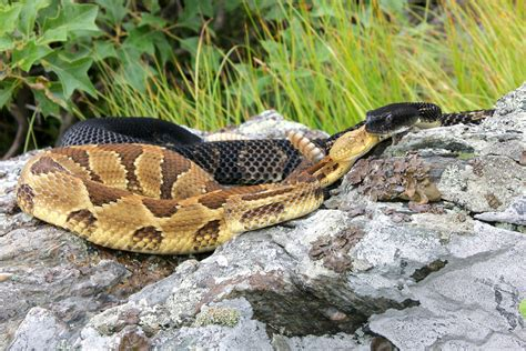 Climate change could send venomous snakes slithering north ...