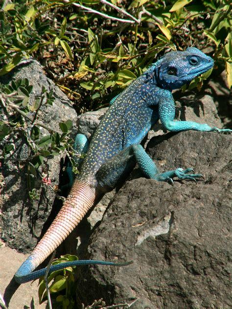 Sergej Marsnjak - Yemen - Near Manakhah - Blue lizard