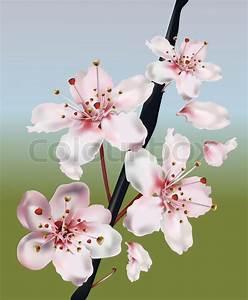 Drawn cherry blossom realistic - Pencil and in color drawn ...