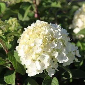 Hydrangea Paniculata Bobo : hydrangea paniculata bobo hortensia hydrangea ~ Michelbontemps.com Haus und Dekorationen