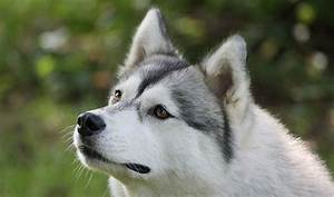 The dog in world: Siberian Husky (Husky) (Sibe) dogs
