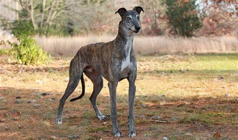 Animal Print Sofa by Greyhound Breed Information