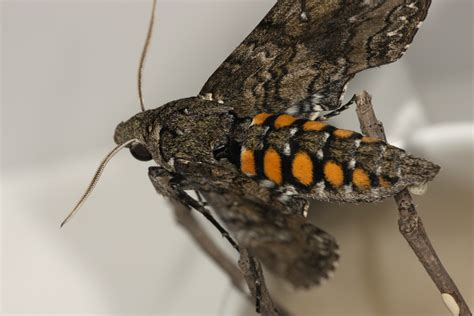 5spotted Hawk Moth Photography By Kozmic Dreams