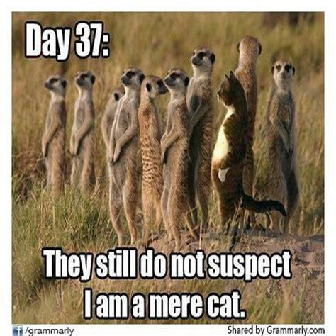 Mere Cat Meme - a mere cat amongst meerkats lmao pinterest
