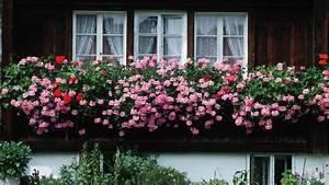 Balkonblumen Richtig Pflanzen : geranien richtig pflegen und berwintern ~ Frokenaadalensverden.com Haus und Dekorationen