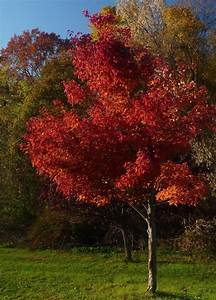 Red Maple Tree Care And Planting – Growing Red Maple Trees  Maple