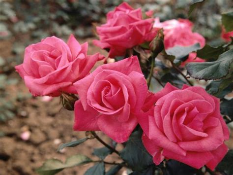 rose water roses pink bush oil winterize gardens seasons seeds ts