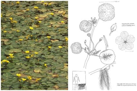 invasive plants aquatic maine floating yellow heart drawing florida water university center ifas nymphoides peltata protection dep invasives gov