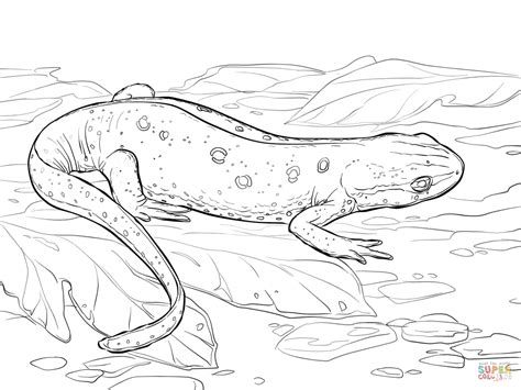 eastern spotted newt coloring page free printable