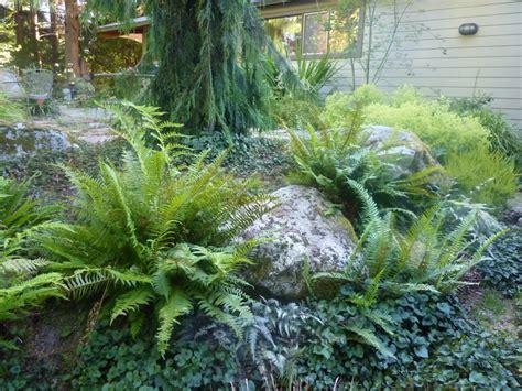 ferns in the garden love sword fern plants i love hate lowell garden design