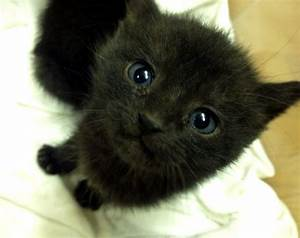 Cute Rescue Black Kitten Blue Eyes Images - Litle Pups