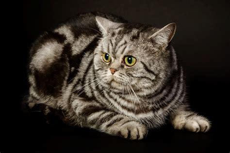 D-vada. Britų trumpaplaukiai kačiukai. - Britų ...