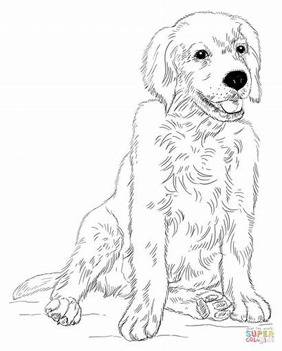 Coloring Retriever Golden Puppy Puppies Pages Draw