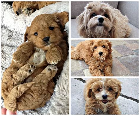 12 Super Adorable Crossbreed Dogs Youve Gotta Have