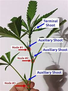17 Best Images About Marijuana Cloning And Cannabis Views