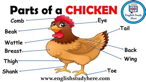 Parts Of A Chicken Vocabulary  English Study Here