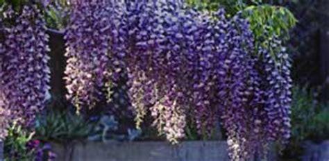 rankhilfen für kletterpflanzen blauregen als nat 252 rliche terrassen 252 berdachung