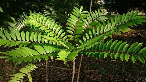 Tongkat Ali (eurycoma Longifolia) 1.jpg